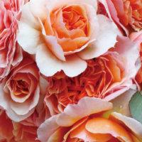 カインズ×GreenSnapコラボ「バラ苗のカタログ」を抽選で500名様にプレゼント!の画像