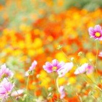10月に行きたい!関東近郊でおすすめの「秋コスモスの名所」の画像