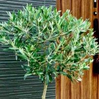 玄関に観葉植物を飾ろう!風水の効果もあるおすすめ種類14選の画像
