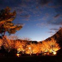 ライトアップが幻想的!関東で人気の「冬桜」の2大名所はどこ?の画像