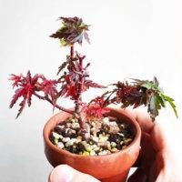 おうちでも紅葉が楽しめる!真っ赤に染まる「もみじ盆栽」の魅力とは?の画像