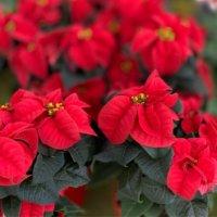美しき「12月の花」写真展|人気の種類や品種、特徴、開花時期は?の画像
