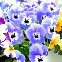長~く楽しめるタキイ種苗品種のビオラ「フローラルパワー」を育てよう!の画像