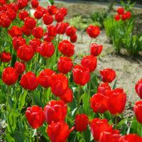 【赤い花図鑑】人気の品種を、季節ごとに分けて紹介します。の画像