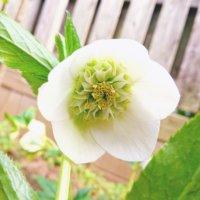 クリスマスローズの花が咲かない原因は?花芽の時期や咲くまでの手入れの画像