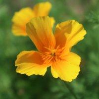 ハナビシソウの花言葉|花の特徴や人気の種類、ハーブとしての効能もある?の画像