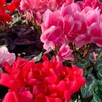 シクラメンの花言葉|種類や色、贈るときに気をつけることは?の画像