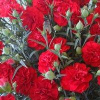 カーネーションの花言葉|種類や色、本数によって意味は変わる?の画像