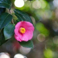 椿(ツバキ)の花言葉|色別の意味や種類、贈るときに気をつけることとは?の画像
