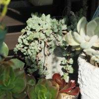 多肉植物の寄せ植えをつくろう!植える種類の組み合わせはどうする?の画像