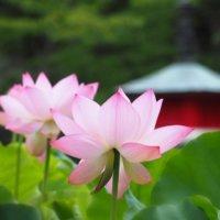 なるほど豆知識!世界各国の「国花」をみてみよう 〜アジア編〜の画像