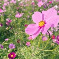 【秋の花図鑑 30選】秋に咲く花、開花時期はいつから?の画像