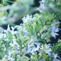 ローズマリーの花言葉|花の特徴や、代表的な意味とは?の画像