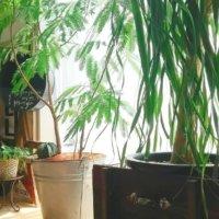 大型の観葉植物|おすすめの種類やおしゃれに見える置き場所は?の画像