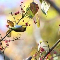 小鳥たちもだいすき?庭木におすすめな「赤い実」がなる木たちの画像