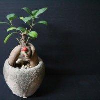 ガジュマルの挿し木|増やし方のコツ、適した時期は?の画像