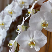 胡蝶蘭の花言葉|色別には怖い意味もある?花の特徴、種類は?の画像