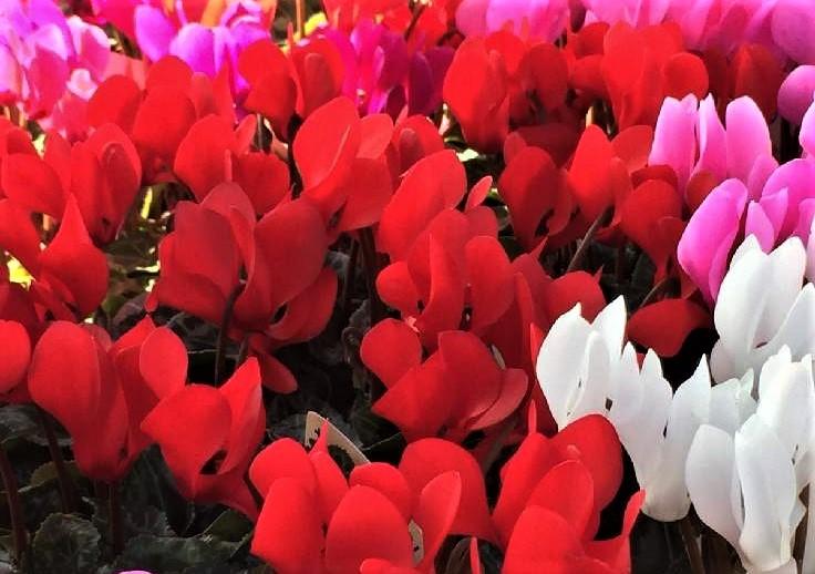 シクラメンの育て方|花の手入れや管理、室内の日当たりや水やりは?の画像