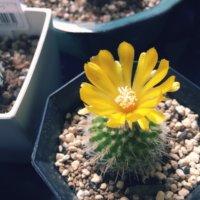 個性派ぞろいの「花サボテン」がカラフルでかわいい!の画像