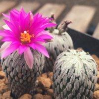 個性派ぞろいの「サボテンの花」がカラフルでかわいい!の画像