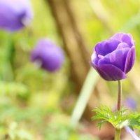 アネモネの花言葉|色別の意味や種類、怖い意味もあるって本当?の画像