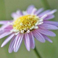 マーガレットの花言葉|色別の意味や種類、別れを表す切ない意味もある?の画像