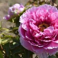 牡丹(ボタン)の花言葉|色別で怖い意味もある?別名や由来、代表的な種類は?の画像