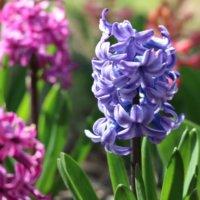 ヒヤシンスの花言葉|色別の意味はある?品種や種類、花の特徴は?の画像