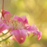 クレマチスの花言葉|代表的な意味や種類、贈り方などをご紹介の画像