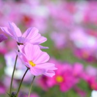 コスモス(秋桜)の花言葉|色別の意味や種類、贈り方などをご紹介の画像