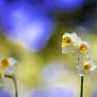 水仙(スイセン)の花言葉|種類や色別の意味は?怖いといわれる理由は?の画像
