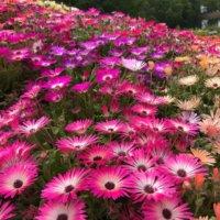 デイジー(雛菊)の花言葉|色別の意味や花の種類、咲き方は?の画像
