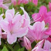 ツツジの花言葉|色別や種類別、英語での意味などをご紹介の画像