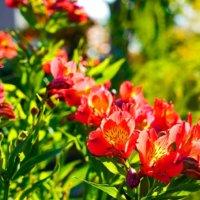 アルストロメリアの花言葉|色別の意味や花の種類は?花束におすすめ?の画像