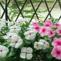 ニチニチソウの花言葉|前向きな意味がたくさん?色別の意味や種類は?の画像