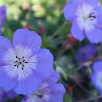 ネモフィラの花言葉|ポジティブな意味がたくさん?色別の意味や種類は?の画像