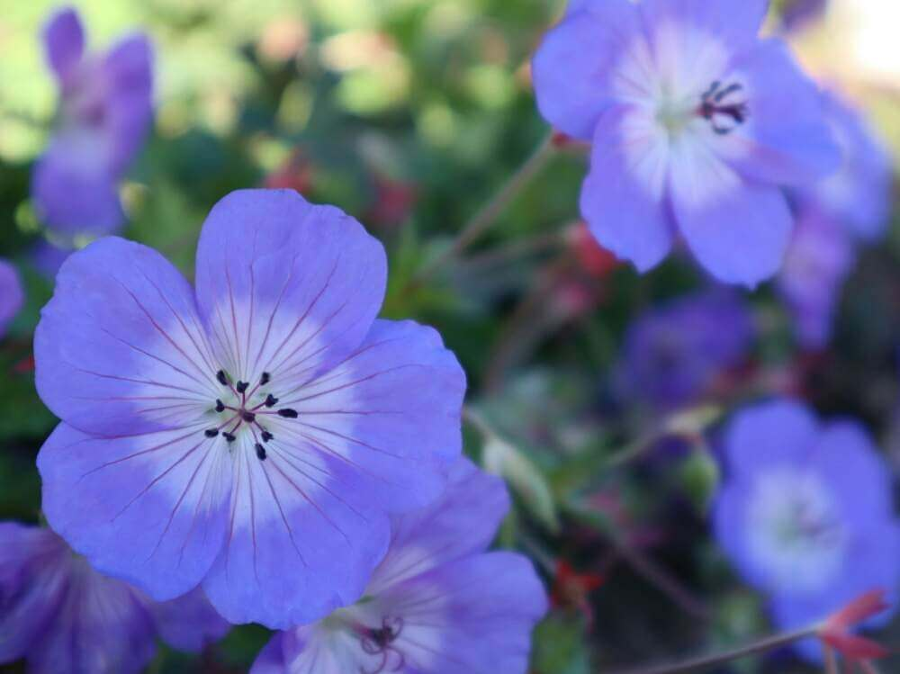 ネモフィラの花言葉 ポジティブな意味がたくさん?色別の意味や種類は ...