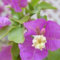 ブーゲンビリアの花言葉|色別の意味や特徴や種類は?情熱的な意味もある?の画像