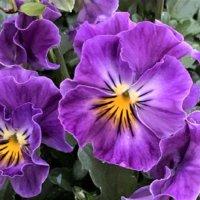 【紫色の花図鑑】人気品種を春、夏、秋、冬の季節ごとに分けてご紹介しますの画像