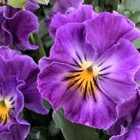 【紫の花図鑑】人気品種を春、夏、秋、冬の季節ごとに分けてご紹介しますの画像
