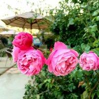 芍薬(シャクヤク)の花言葉|色別の意味や種類、怖い意味もあるって本当?の画像