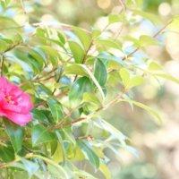 山茶花(サザンカ)の花言葉|花の種類や見頃の季節、椿との違いは?の画像