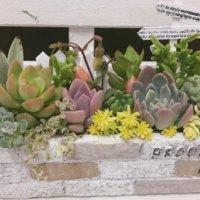 お庭がなくてもOK!花壇風の多肉植物の寄せ植えをつくってみよう♫の画像