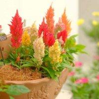 ケイトウの花言葉|種類や特徴、代表的な花言葉は?の画像