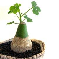 塊根植物(コーデックス)とは|レアで人気の種類は?育て方のコツは?の画像