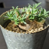 あなたも塊根植物のトリコ!かっこいいだけじゃない不思議な魅力とは?の画像
