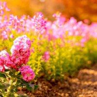 ストックの花言葉|色別の意味や種類、贈り方などをご紹介の画像