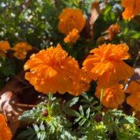 【オレンジの花図鑑】人気の品種を、季節ごとに分けて紹介しますの画像