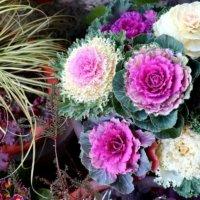 葉牡丹(ハボタン)の花言葉|縁起の良い意味や、種類のご紹介の画像