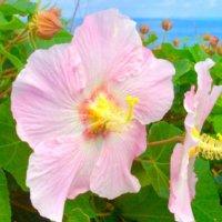 芙蓉(フヨウ)の花言葉|美を褒める意味や由来、種類のご紹介の画像